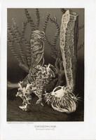 Üvegszivacsok, litográfia 1907, színes nyomat, eredeti, magyar, Brehm, állat, óceán, tenger, szivacs