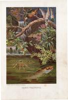 Sebes pisztráng, litográfia 1907, színes nyomat, eredeti, magyar, Brehm, állat, hal, folyó, Európa