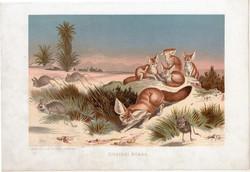 Sivatagi róka, litográfia 1907, színes nyomat, eredeti, magyar, Brehm, állat, ragadozó, Afrika