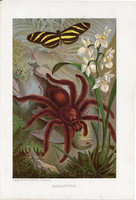 Madárpók, litográfia 1907, színes nyomat, eredeti, magyar, Brehm, állat, pók, trópus, pillangó