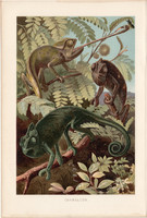 Kaméleon, litográfia 1894, színes nyomat, eredeti, német, Brehm, állat, hüllő, Afrika, Ázsia, gyík