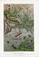 Vízi poloskák, litográfia 1907, színes nyomat, eredeti, magyar, Brehm, állat, vízipók, poloska, víz