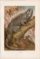 Zöld leguán, litográfia 1894, színes nyomat, eredeti, német, Brehm, állat, hüllő, Amerika, gyík, dél