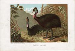 Taréjos kazuár, litográfia 1907, színes nyomat, eredeti, magyar, Brehm, állat, madár, Ausztrália