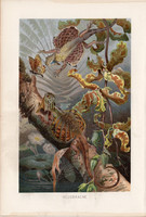 Repülőagáma, litográfia 1894, színes nyomat, eredeti, német, Brehm, állat, hüllő, sárkánygyík, Ázsia