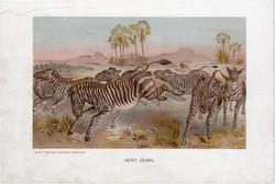 Hegyi zebra, litográfia 1907, színes nyomat, eredeti, magyar, Brehm, állat, lófélék, Dél - Afrika