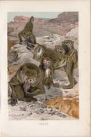 Pávián, litográfia 1894, színes nyomat, eredeti, német, Brehm, állat, majom, Afrika, főemlős