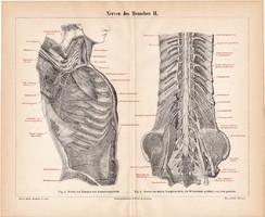 Az ember idegrendszere II., litográfia 1888, színes nyomat, eredeti, anatómia, gyógyászat, ideg