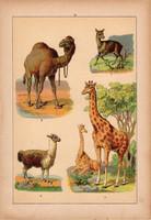 Állatok (11), litográfia 1902, eredeti, kis méret, magyar, állat, teve, zsiráf, láma, pézsma-őz