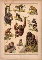 Állatok (2), litográfia 1902, eredeti, kis méret, magyar, állat, majom, csimpánz, orángután, pávián