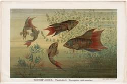 Halak II., színes nyomat 1896, német nyelvű, litográfia, eredeti, hal, tenger, paradicsomhal, régi