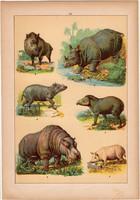 Állatok (10), litográfia 1902, eredeti, kis méret, magyar, állat, vaddisznó, víziló, orrszarvú
