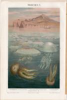 Medúzák I., színes nyomat 1896, német nyelvű, litográfia, eredeti, tenger, medúza, óceán