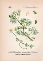 Batrachium divaricatum, litográfia 1882, eredeti, kis méret, színes nyomat, növény, virág, boglárka