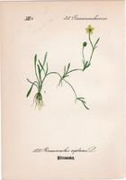 Ranunculus reptans, litográfia 1882, eredeti, kis méret, színes nyomat, növény virág boglárka