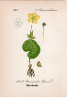 Ranunculus thora (1), litográfia 1882, eredeti, kis méret, színes nyomat, növény, virág, boglárka