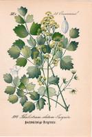 Thalictrum elatum jacquin, litográfia 1882, eredeti, kis méret, színes nyomat, növény, virág borkóró