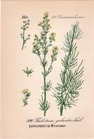 Thalictrum galioides, litográfia 1882, eredeti, kis méret, színes nyomat, növény, virág, borkóró