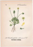 Ceratocephalus orthoceras, litográfia 1882, eredeti, kis méret, színes nyomat, növény, virág