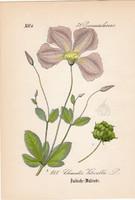 Olasz iszalag, litográfia 1882, eredeti, kis méret, színes nyomat, növény, virág, Clematis viticella