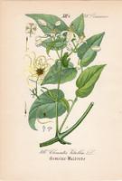 Erdei iszalag, litográfia 1882, eredeti, kis méret, színes nyomat, növény, virág, Clematis vitalba
