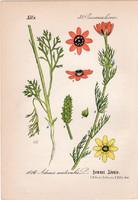 Nyári hérics, litográfia 1882, eredeti, kis méret, színes nyomat, növény, virág, Adonis aestivalis