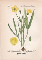 Selymes boglárka, litográfia 1882, eredeti, kis méret, színes nyomat, növény, virág, Ranunculus