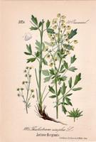 Thalictrum simplex, litográfia 1882, eredeti, kis méret, színes nyomat, növény, virág, borkóró
