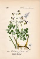 Sziklai borkóró, litográfia 1882, eredeti, kis méret, színes nyomat, növény, virág, Thalictrum foet.