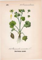 Ranunculus muricatus, litográfia 1882, eredeti, kis méret, színes nyomat, növény, virág, boglárka
