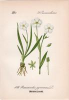 Ranunculus pyrenaeus, litográfia 1882, eredeti, kis méret, színes nyomat, növény virág boglárka