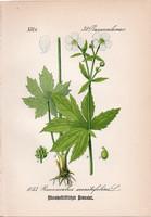 Sisakvirág - levelű boglárka, litográfia 1882, eredeti, kis méret, színes nyomat, növény, virág