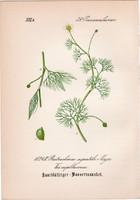 Batrachium aquatile (2), litográfia 1882, eredeti, kis méret, színes nyomat, növény, virág, boglárka