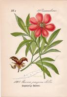 Paeonia peregrina, litográfia 1882, eredeti, kis méret, színes nyomat, növény, virág, bazsarózsa