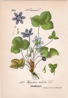 Nemes májvirág, litográfia 1882, eredeti, kis méret, színes nyomat, növény, virág, Hepatica triloba
