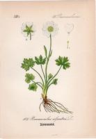 Havasi boglárka, litográfia 1882, eredeti, kis méret, színes nyomat, növény, virág, Ranunculus alp.