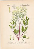 Felálló iszalag, litográfia 1882, eredeti, kis méret, színes nyomat, növény, virág, Clematis recta