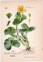 Mocsári gólyahír, litográfia 1882, eredeti, kis méret, színes nyomat, növény, virág Caltha palustris