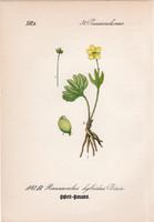 Ranunculus hybridus, litográfia 1882, eredeti, kis méret, színes nyomat, növény, virág, boglárka