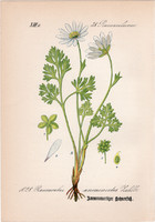 Ranunculus anemonoides, litográfia 1882, eredeti, kis méret, színes nyomat, növény, virág, boglárka