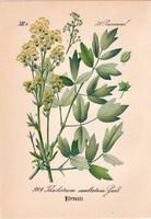 Thalictrum exaltatum, litográfia 1882, eredeti, kis méret, színes nyomat, növény, virág, borkóró