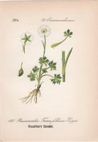Ranunculus traunfellneri, litográfia 1882, eredeti, kis méret, színes nyomat, növény, virág boglárka