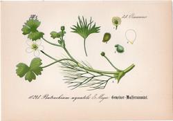 Batrachium aquatile (1), litográfia 1882, eredeti, kis méret, színes nyomat, növény, virág, boglárka