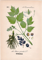 Fekete békabogyó, litográfia 1882, eredeti, kis méret, színes nyomat, növény, virág, Actaea spicata