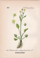 Ranunculus ophioglossifolius, litográfia 1882, eredeti, kis méret, nyomat, növény, virág, boglárka
