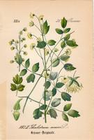 Közönséges borkóró, litográfia 1882, eredeti, kis méret, színes nyomat, növény, virág, Thalictrum