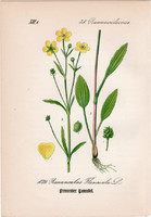 Békaboglárka, litográfia 1882, eredeti, kis méret, színes nyomat, növény virág, boglárka, Ranunculus