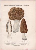 Hegyes és ízletes kucsmagomba - fehér pereszke, litográfia 1895, eredeti, kis méret, nyomat, gomba