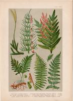 Magyar növények 63, litográfia 1903, színes nyomat, virág, surló, páfrány, haraszt, pajzsika (3)