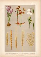 Magyar növények 3, litográfia 1903, színes nyomat, virág, sáfrány, káka, búza, rozs, árpa, zab (3)